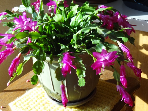 Pink Christmas Cactus 2013